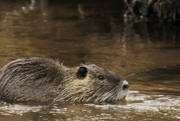 They-Came-To-Stay-Coypus-01-c-Klaus-Scheurich-min.jpg