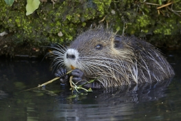 They-Came-To-Stay-Coypus-02-c-Erik-Sick-min.jpg