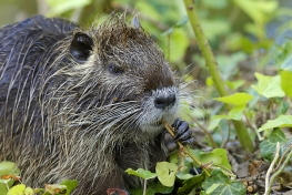 They-Came-To-Stay-Coypus-04-c-Erik-Sick-min.jpg