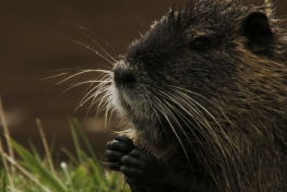 They-Came-To-Stay-Coypus-05-c-Klaus-Scheurich-min.jpg